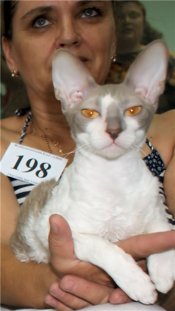 фото кошки породы корниш рекс